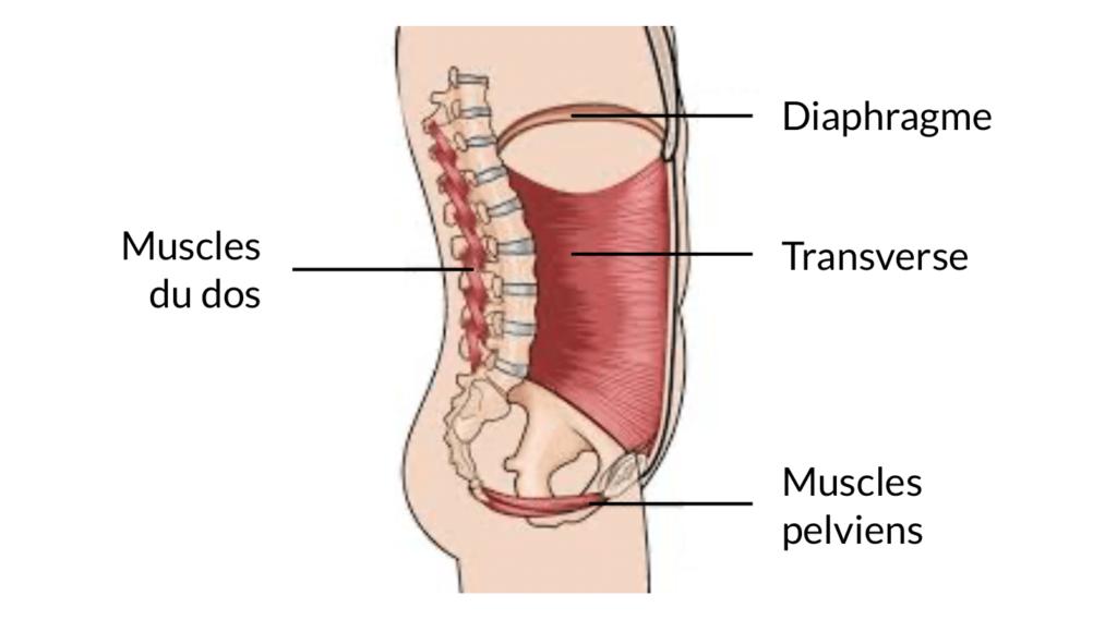 Anatomie du caisson abdominal où le surplus adipeux s'accumulent, mettant en lumière l'obésité abdominale de la personne.
